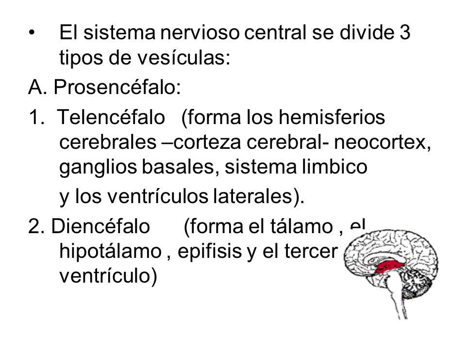 SISTEMANERVIOSOSISTEMANERVIOSO SISTEMANERVISOCENTRALSISTEMANERVISOCENTRAL ENCEFALO ENCEFALO CEREBRO TRONCO ENCEFALICOPedúnculos cerebrales Tubérculos
