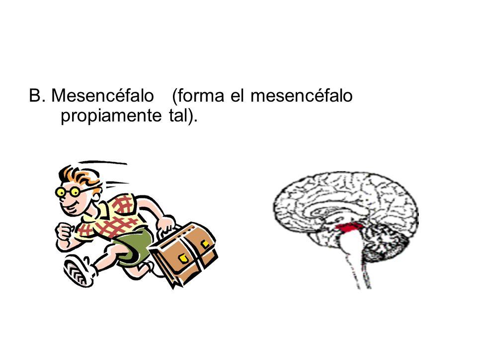 El sistema nervioso central se divide 3 tipos de vesículas: A. Prosencéfalo: 1. Telencéfalo (forma los hemisferios cerebrales –corteza cerebral- neoco