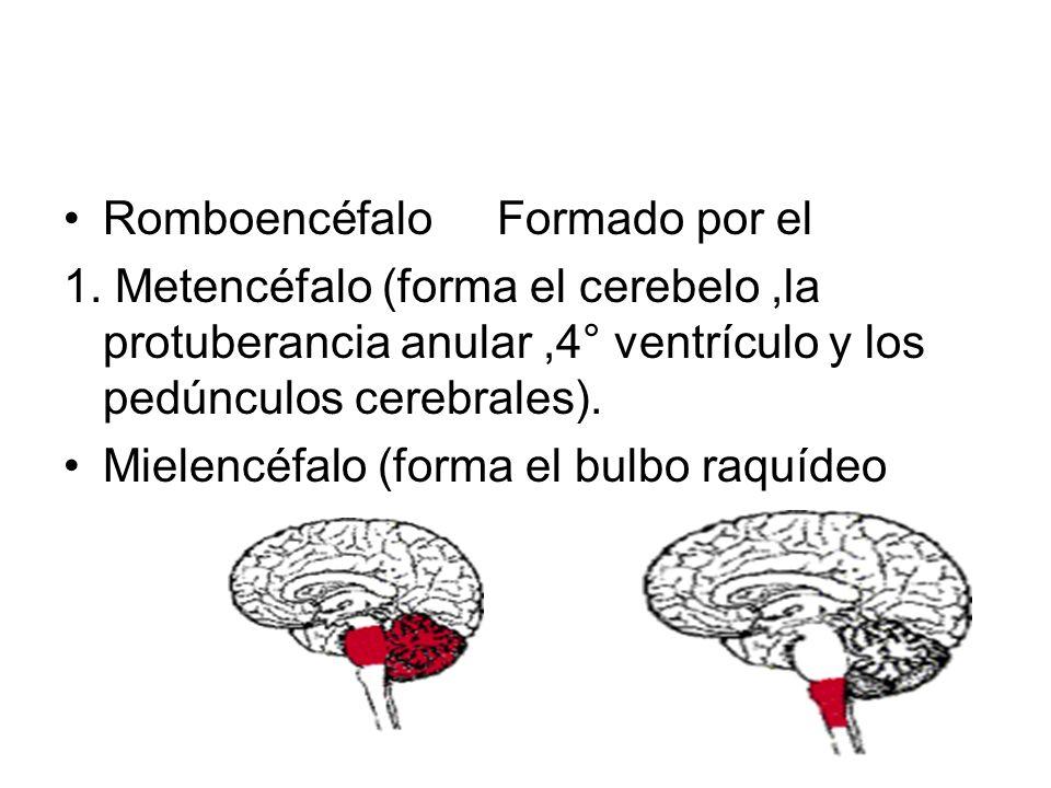 B. Mesencéfalo(forma el mesencéfalo propiamente tal).
