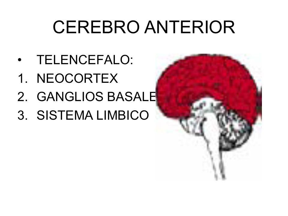 Romboencéfalo Formado por el 1. Metencéfalo (forma el cerebelo,la protuberancia anular,4° ventrículo y los pedúnculos cerebrales). Mielencéfalo (forma