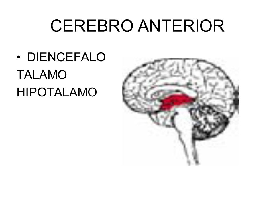 CEREBRO ANTERIOR TELENCEFALO: 1.NEOCORTEX 2.GANGLIOS BASALES 3.SISTEMA LIMBICO