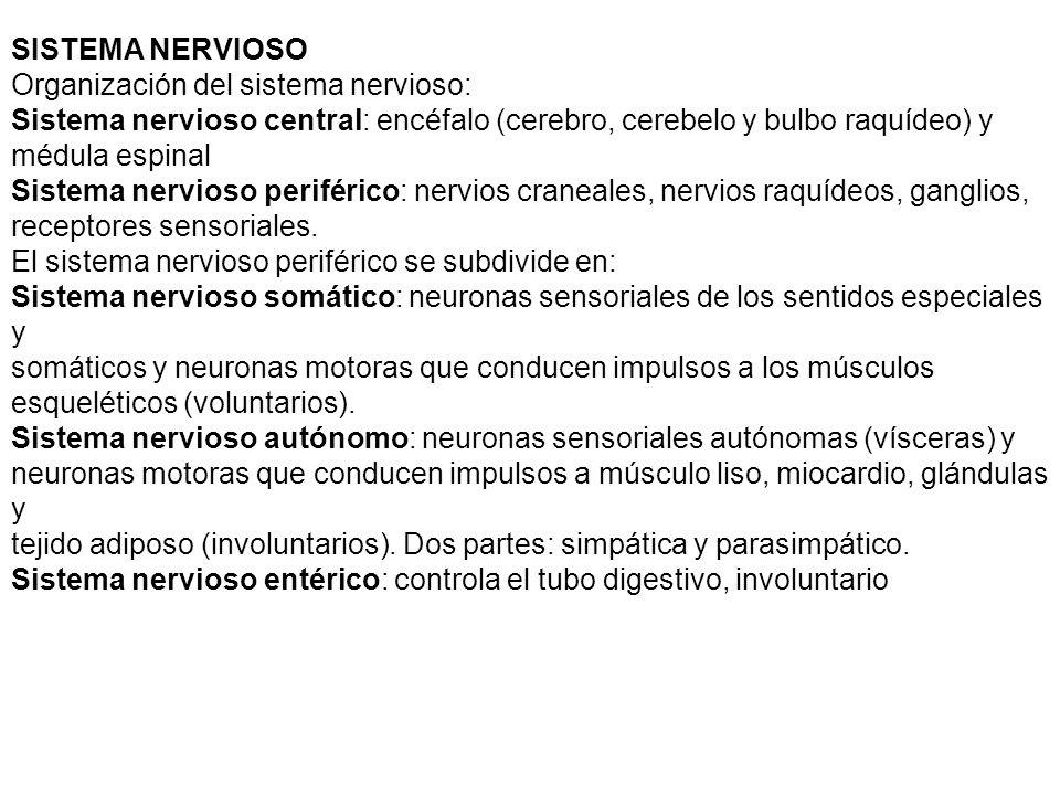SISTEMA NERVIOSO Organización del sistema nervioso: Sistema nervioso central: encéfalo (cerebro, cerebelo y bulbo raquídeo) y médula espinal Sistema nervioso periférico: nervios craneales, nervios raquídeos, ganglios, receptores sensoriales.