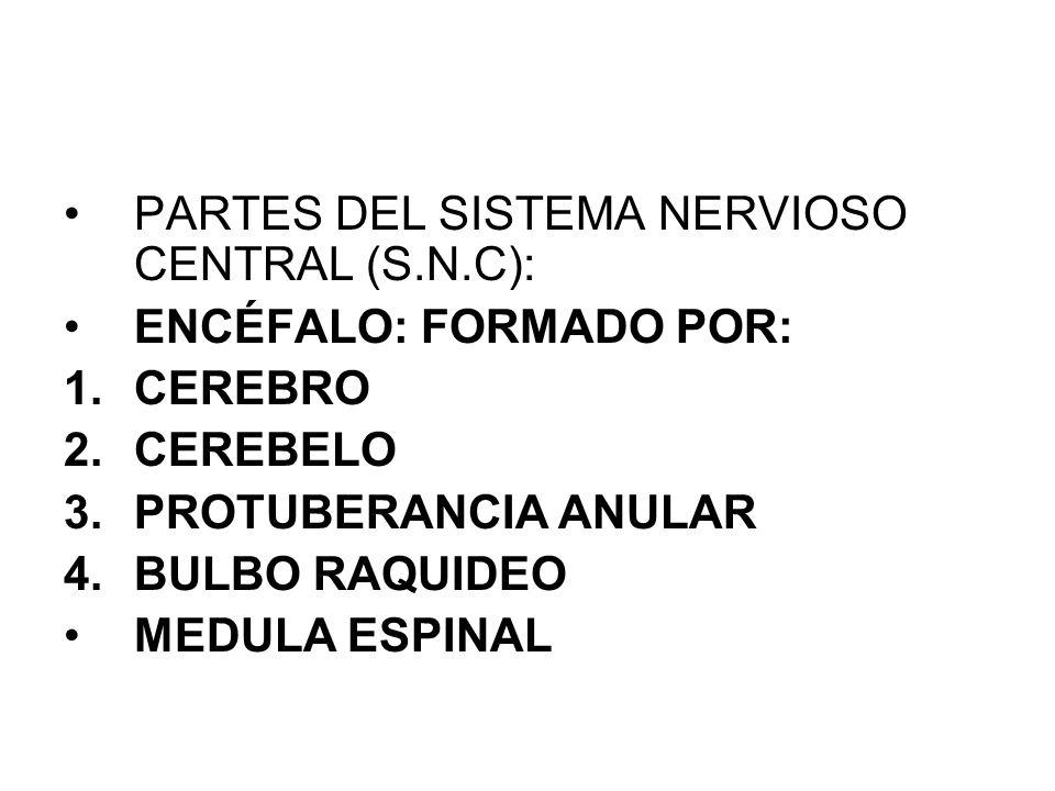 SISTEMA NERVIOSO Organización del sistema nervioso: Sistema nervioso central: encéfalo (cerebro, cerebelo y bulbo raquídeo) y médula espinal Sistema n