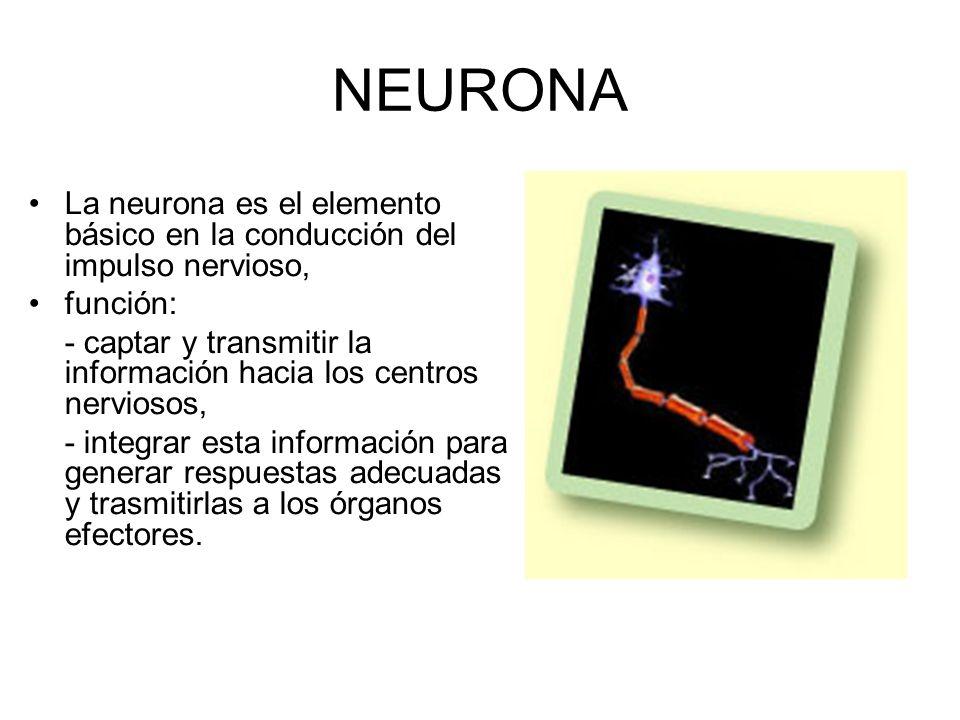 NEURONA La neurona es el elemento básico en la conducción del impulso nervioso, función: - captar y transmitir la información hacia los centros nerviosos, - integrar esta información para generar respuestas adecuadas y trasmitirlas a los órganos efectores.