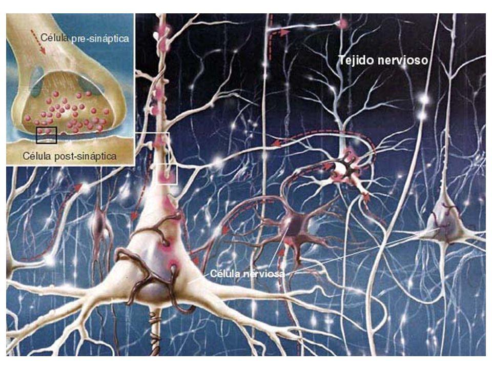 LA NEURONA Son las células que forman el sistema nervioso central, incluyendo el cerebro. En el sistema nervioso humano hay del orden de 1011 (cien mi