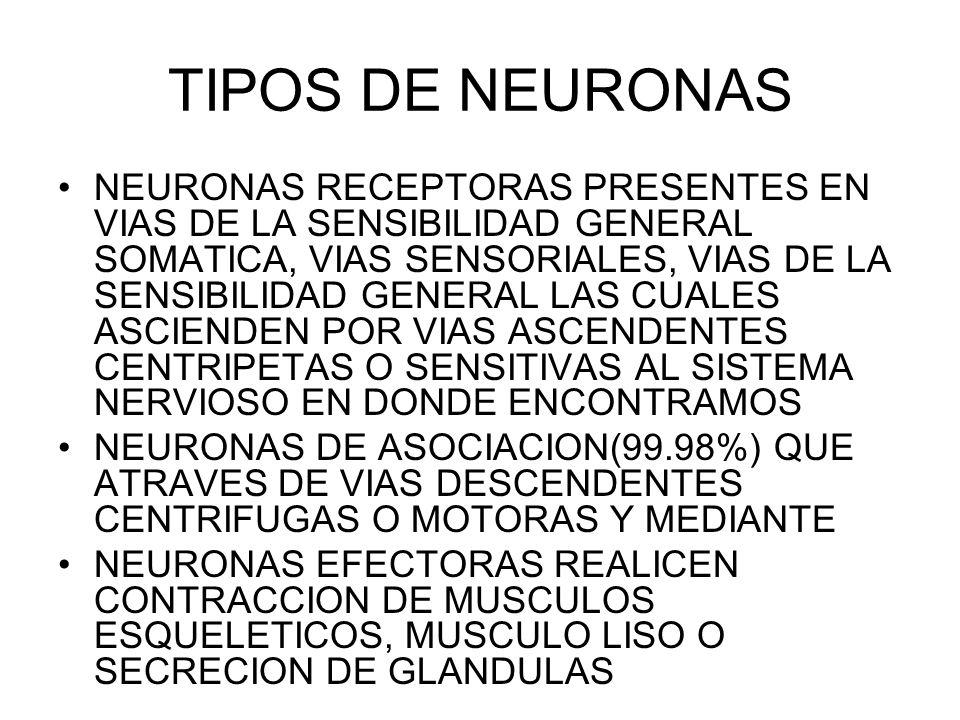 TIPOS DE NEURONAS NEURONAS RECEPTORAS PRESENTES EN VIAS DE LA SENSIBILIDAD GENERAL SOMATICA, VIAS SENSORIALES, VIAS DE LA SENSIBILIDAD GENERAL LAS CUALES ASCIENDEN POR VIAS ASCENDENTES CENTRIPETAS O SENSITIVAS AL SISTEMA NERVIOSO EN DONDE ENCONTRAMOS NEURONAS DE ASOCIACION(99.98%) QUE ATRAVES DE VIAS DESCENDENTES CENTRIFUGAS O MOTORAS Y MEDIANTE NEURONAS EFECTORAS REALICEN CONTRACCION DE MUSCULOS ESQUELETICOS, MUSCULO LISO O SECRECION DE GLANDULAS