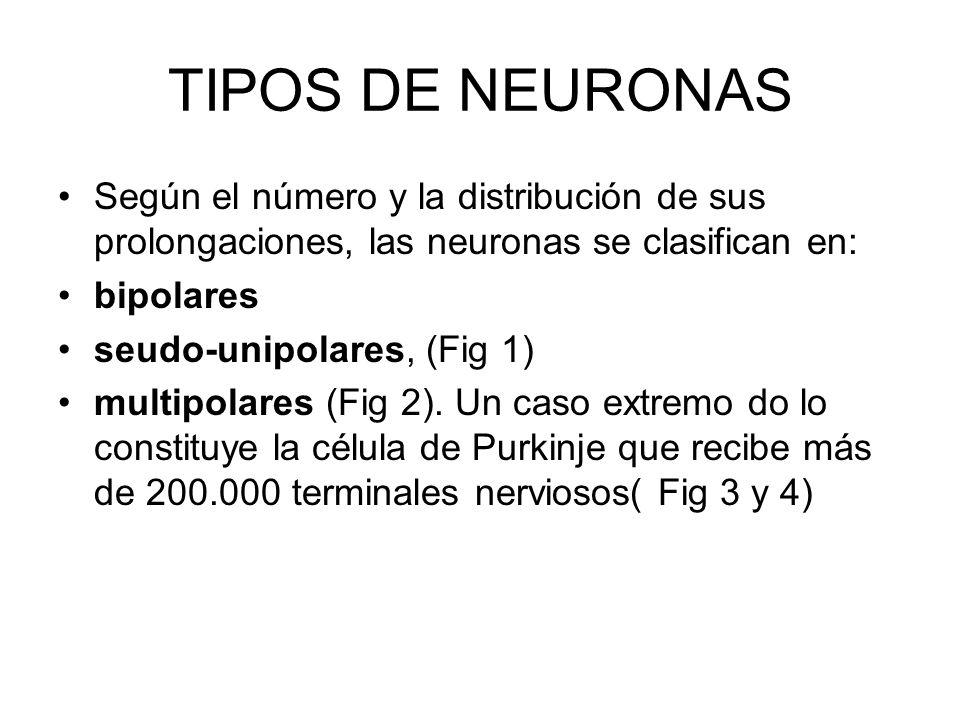 TIPOS DE NEURONAS NEURONAS RECEPTORAS PRESENTES EN VIAS DE LA SENSIBILIDAD GENERAL SOMATICA, VIAS SENSORIALES, VIAS DE LA SENSIBILIDAD GENERAL LAS CUA