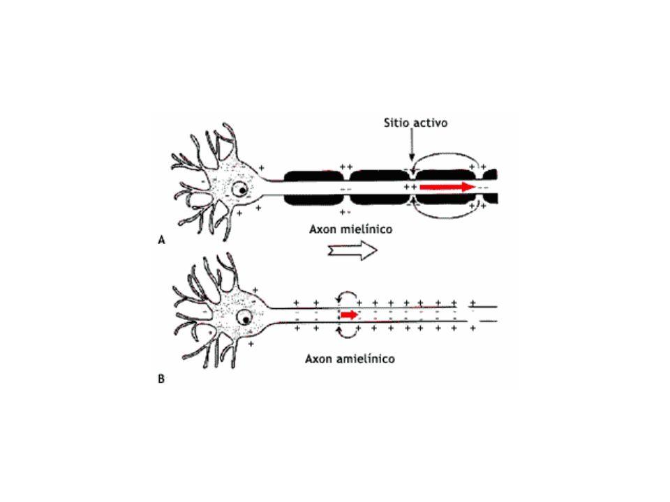 La velocidad de propagación en el axón depende de varios factores, como el grosor del axón y la presencia o no de mielina (aislante). En ausencia de m
