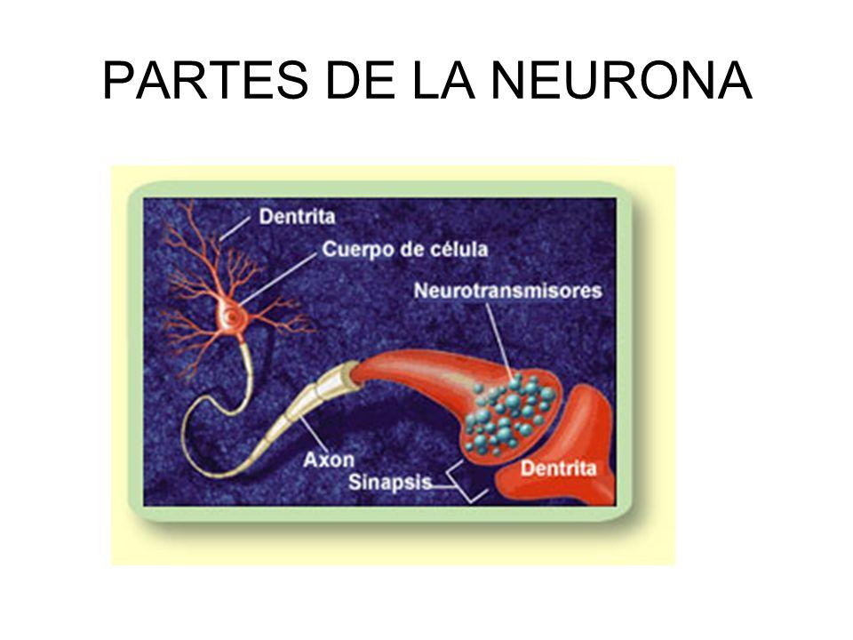 Gestación 2 semanas: neuronas cerebrales aparecen 4 semanas: empiezan a dividirse 4 meses: desarrollo a ritmo de 250.000/minuto 4º-5º mes: regiones ce