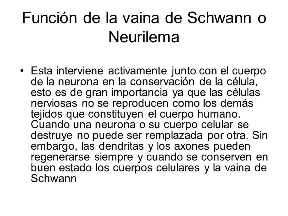Función de la vaina de Schwann o Neurilema Esta interviene activamente junto con el cuerpo de la neurona en la conservación de la célula, esto es de gran importancia ya que las células nerviosas no se reproducen como los demás tejidos que constituyen el cuerpo humano.