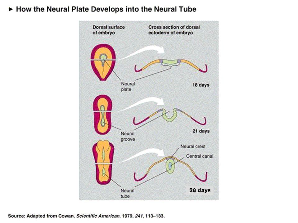 Desarrollo del cerebro Comienza alrededor del día 18 después de la concepción. Parte de la capa más externa, ectodermo, de la parte dorsal del embrión