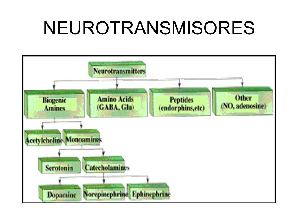 NEURONA TRANSMISION DEL IMPULSO NERVIOSO COMUNICACIÓN SINAPTICA Por el lugar: Sinapsis axodendrítica Sinapsis axosomática Sinapsis axoaxónica