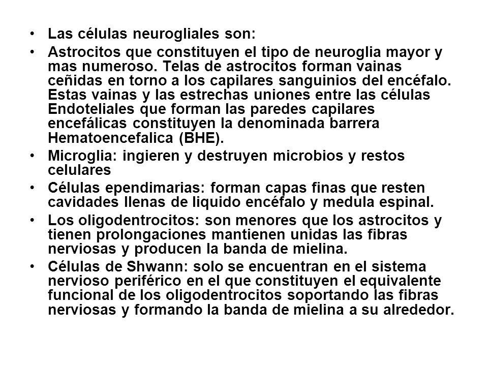 Neuroglia El numero de células de neuroglia excede cualquier calculo. Una estimación sitúa la cifra en unos impresionantes novecientos billones, ¡ nue