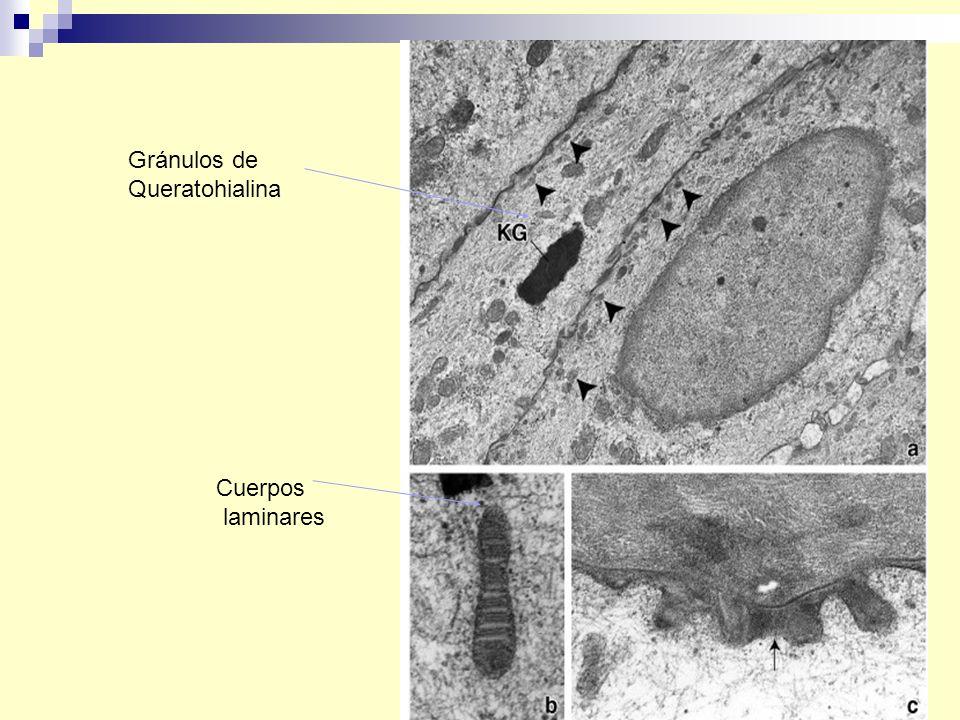 Gránulos de Queratohialina Cuerpos laminares