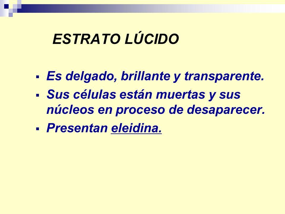 ESTRATO LÚCIDO Es delgado, brillante y transparente. Sus células están muertas y sus núcleos en proceso de desaparecer. Presentan eleidina.