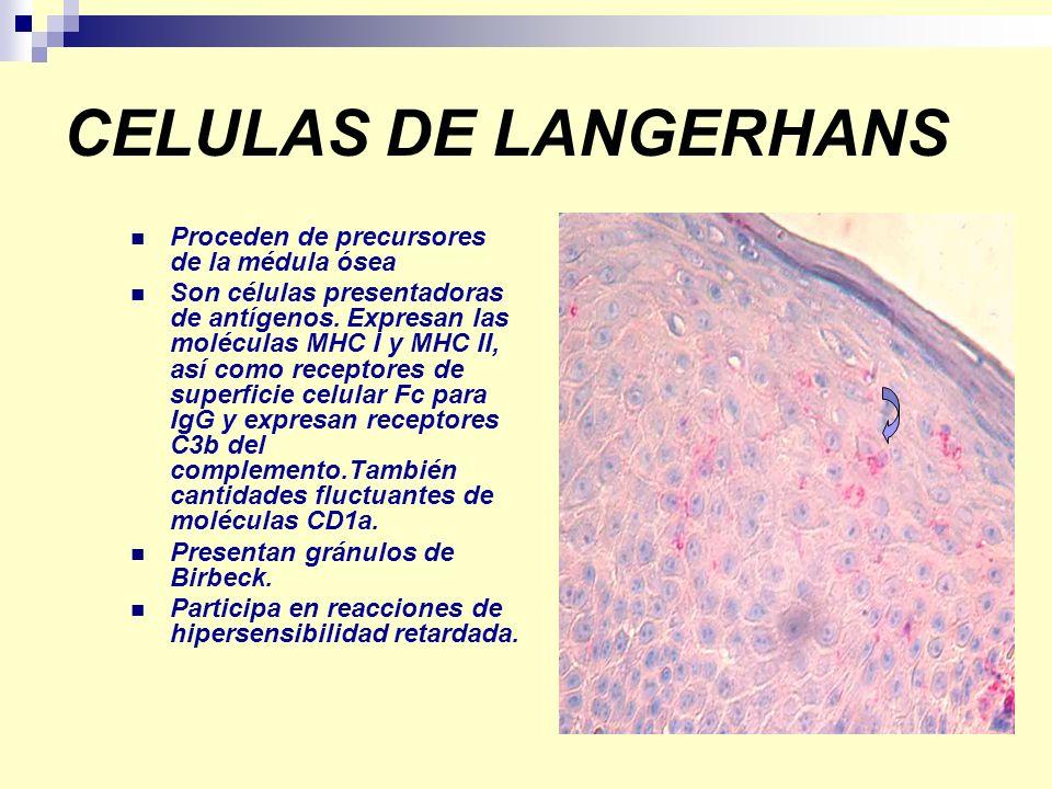 CELULAS DE LANGERHANS Proceden de precursores de la médula ósea Son células presentadoras de antígenos. Expresan las moléculas MHC I y MHC II, así com