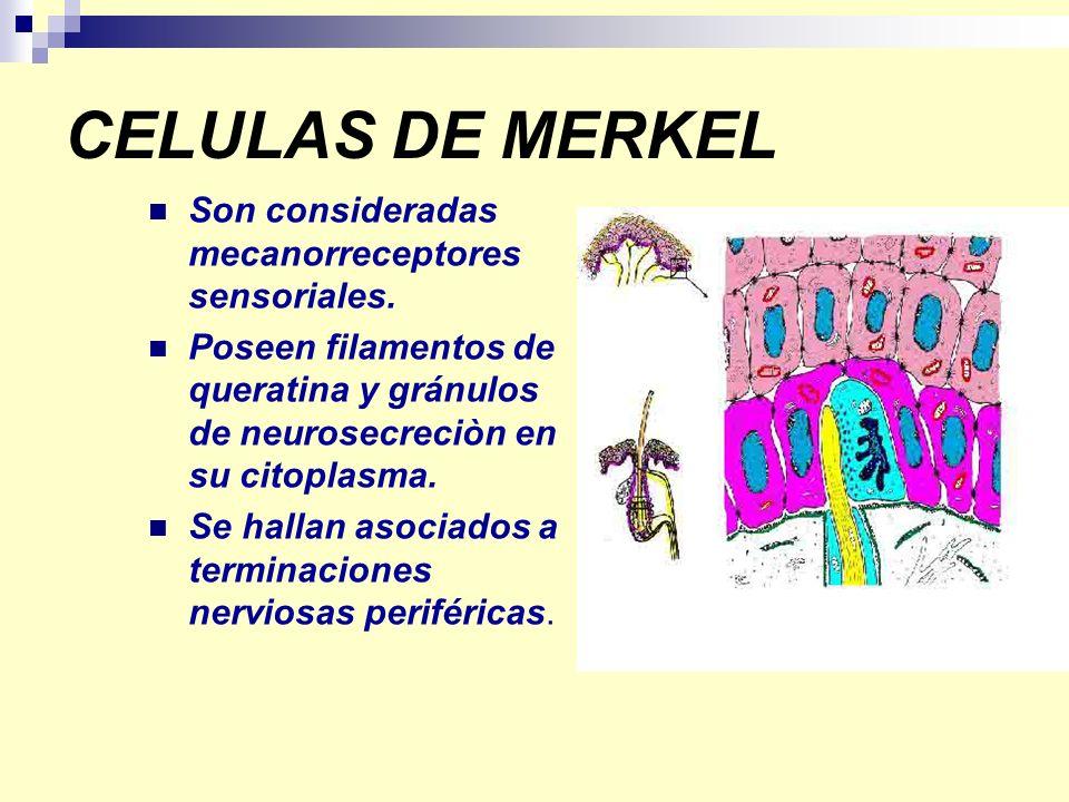 CELULAS DE MERKEL Son consideradas mecanorreceptores sensoriales. Poseen filamentos de queratina y gránulos de neurosecreciòn en su citoplasma. Se hal