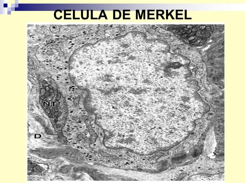 CELULA DE MERKEL