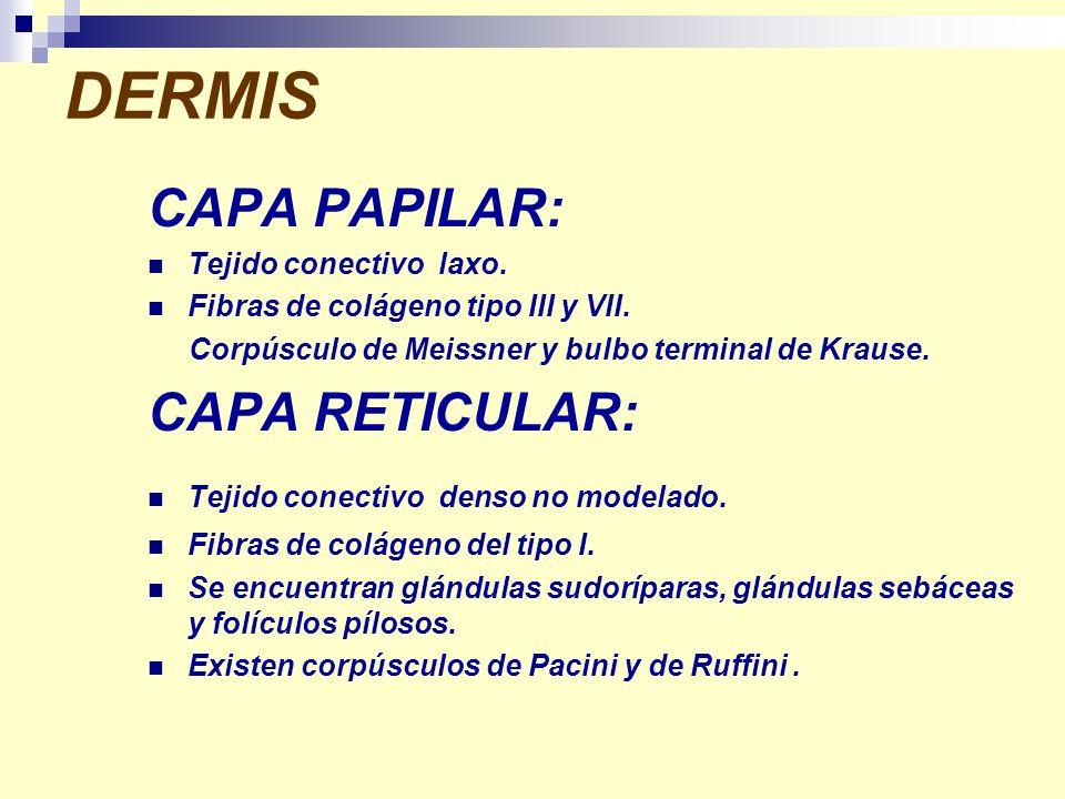 DERMIS CAPA PAPILAR: Tejido conectivo laxo. Fibras de colágeno tipo III y VII. Corpúsculo de Meissner y bulbo terminal de Krause. CAPA RETICULAR: Teji