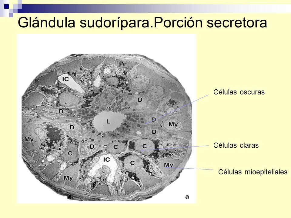Glándula sudorípara.Porción secretora Células oscuras Células claras Células mioepiteliales