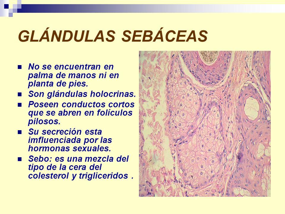 GLÁNDULAS SEBÁCEAS No se encuentran en palma de manos ni en planta de pies. Son glándulas holocrinas. Poseen conductos cortos que se abren en folículo