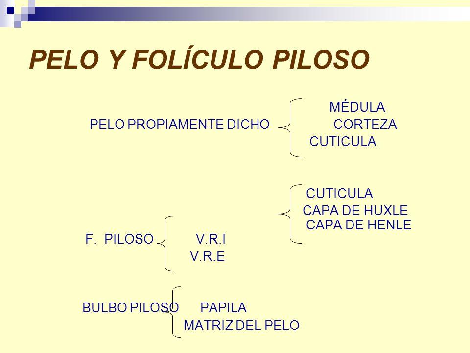 PELO Y FOLÍCULO PILOSO MÉDULA PELO PROPIAMENTE DICHO CORTEZA CUTICULA CUTICULA CAPA DE HUXLE CAPA DE HENLE F. PILOSO V.R.I V.R.E BULBO PILOSO PAPILA M