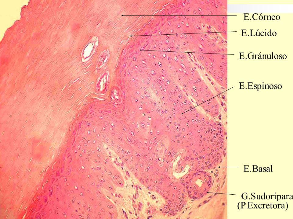 ESTRATO GRANULOSO Tres a cinco capas de celulas aplanadas.