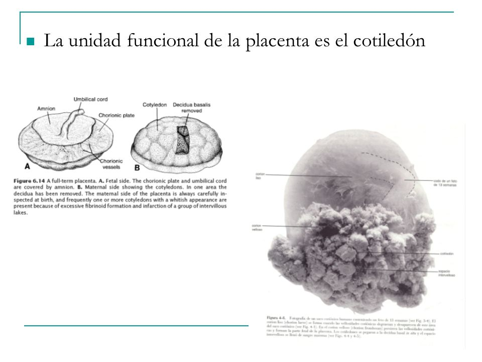 La unidad funcional de la placenta es el cotiledón