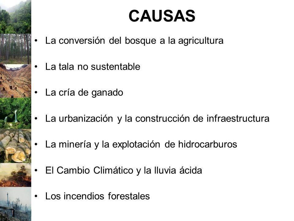 CAUSAS La conversión del bosque a la agricultura La tala no sustentable La cría de ganado La urbanización y la construcción de infraestructura La mine