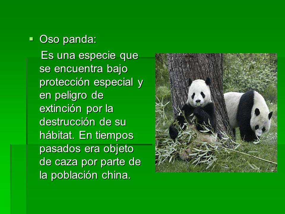 Oso panda: Oso panda: Es una especie que se encuentra bajo protección especial y en peligro de extinción por la destrucción de su hábitat. En tiempos