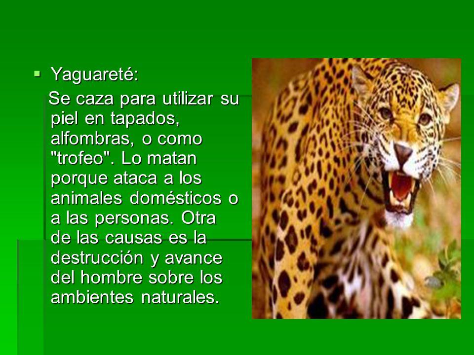Yaguareté: Yaguareté: Se caza para utilizar su piel en tapados, alfombras, o como