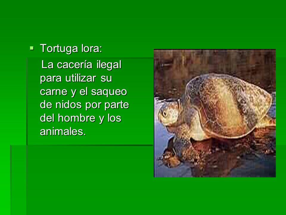 Tortuga lora: Tortuga lora: La cacería ilegal para utilizar su carne y el saqueo de nidos por parte del hombre y los animales. La cacería ilegal para