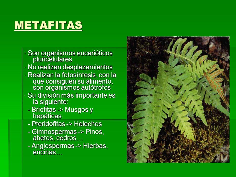 METAFITAS · Son organismos eucarióticos pluricelulares · No realizan desplazamientos · Realizan la fotosíntesis, con la que consiguen su alimento, son