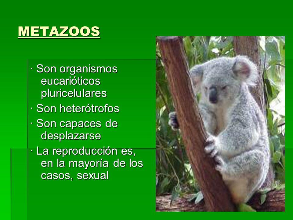 METAZOOS · Son organismos eucarióticos pluricelulares · Son heterótrofos · Son capaces de desplazarse · La reproducción es, en la mayoría de los casos