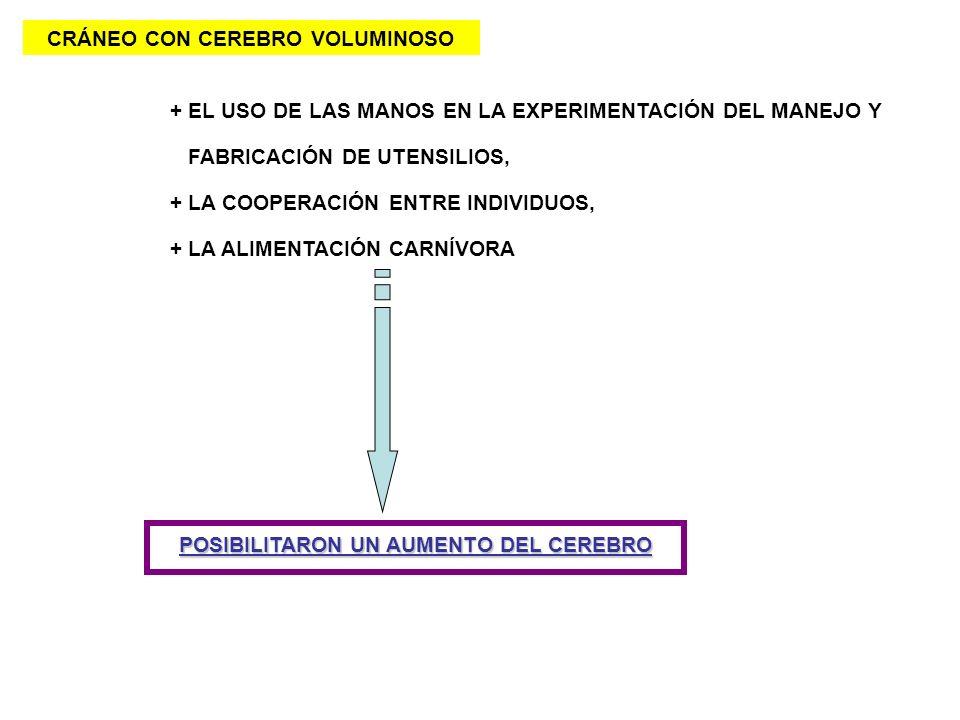 CRÁNEO CON CEREBRO VOLUMINOSO + EL USO DE LAS MANOS EN LA EXPERIMENTACIÓN DEL MANEJO Y FABRICACIÓN DE UTENSILIOS, + LA COOPERACIÓN ENTRE INDIVIDUOS, +
