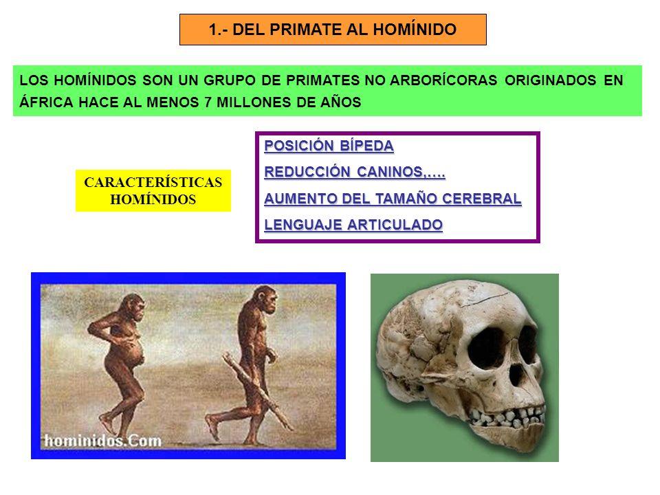 1.- DEL PRIMATE AL HOMÍNIDO LOS HOMÍNIDOS SON UN GRUPO DE PRIMATES NO ARBORÍCORAS ORIGINADOS EN ÁFRICA HACE AL MENOS 7 MILLONES DE AÑOS CARACTERÍSTICA