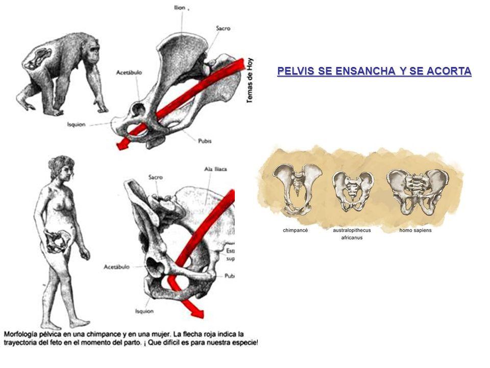 EspeciesTiempo en millones de añosEpocaPeriodo Homo sapiensPresente - 001 m.a.HolocenoCuaternario Homo sapiens Homo neandertalis Homo rodhesiensis Homo heidelbergensis Homo antecessor Homo erectus Homo ergaster Paranthropus boisei Paranthropus robustus 0.001 - 1.6 m.a.PleistocenoCuaternario Homo ergaster Homo rudolfensis Homo habilis Paranthropus boisei Paranthropus robustus Paranthropus aethiopicus Australopithecus africanus Australopithecus afarensis Australopithecus anamensis Australopithecus bahrelgazali Ardipithecus ramidus 1.6 - 5.3 m.a.PliocenoTerciario Ouranopithecus Kenyapithecus Sivapithecus Dryopithecus Proconsul 5.3 - 23.7 m.a.MiocenoTerciario Aegyptopithecus23.7 - 36.6 m.a.OligocenoTerciario