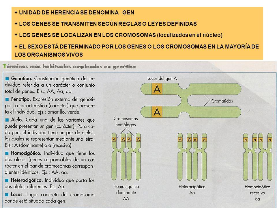 + UNIDAD DE HERENCIA SE DENOMINA GEN + LOS GENES SE TRANSMITEN SEGÚN REGLAS O LEYES DEFINIDAS + LOS GENES SE LOCALIZAN EN LOS CROMOSOMAS (localizados