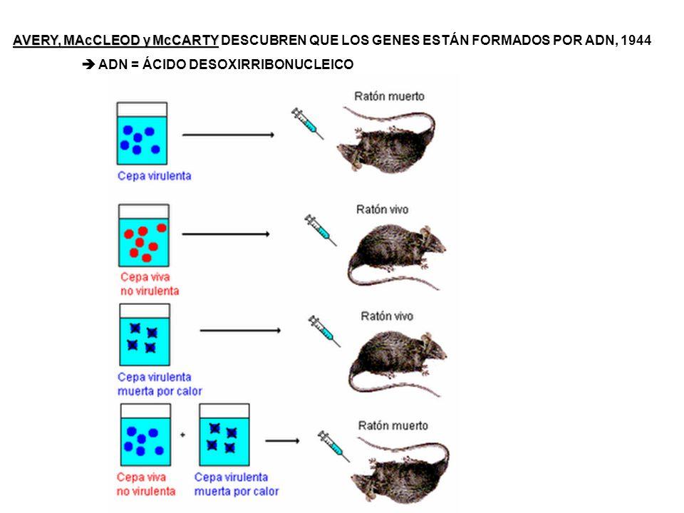 TRANSCRIPCIÓN LA INFORMACIÓN DEL ADN SE TRANSFIERE AL ARN MENSAJERO EL ARN TIENE COMO NUCLEÓTIDO COMPLEMENTARIO DE LA ADENINA EL URACILO (no la T) LOCALIZACIÓN = NÚCLEO CELULAR TRADUCCIÓN FORMACIÓN DE UNA CADENA DE AMINOÁCIDOS EN EL ORDEN DETERMINADO POR LA SECUENCIA DE NUCLEÓTIDOS DEL ARNm LOCALIZACIÓN = CITOPLASMA CELULAR + ARN ribosómico = se une al ARN mensajero + ARN transferente = transporta los aminoácidos hasta el ARN mensajero (donde está el ARN ribosómico) Cada ARNt reconoce secuencia específica del ARN m