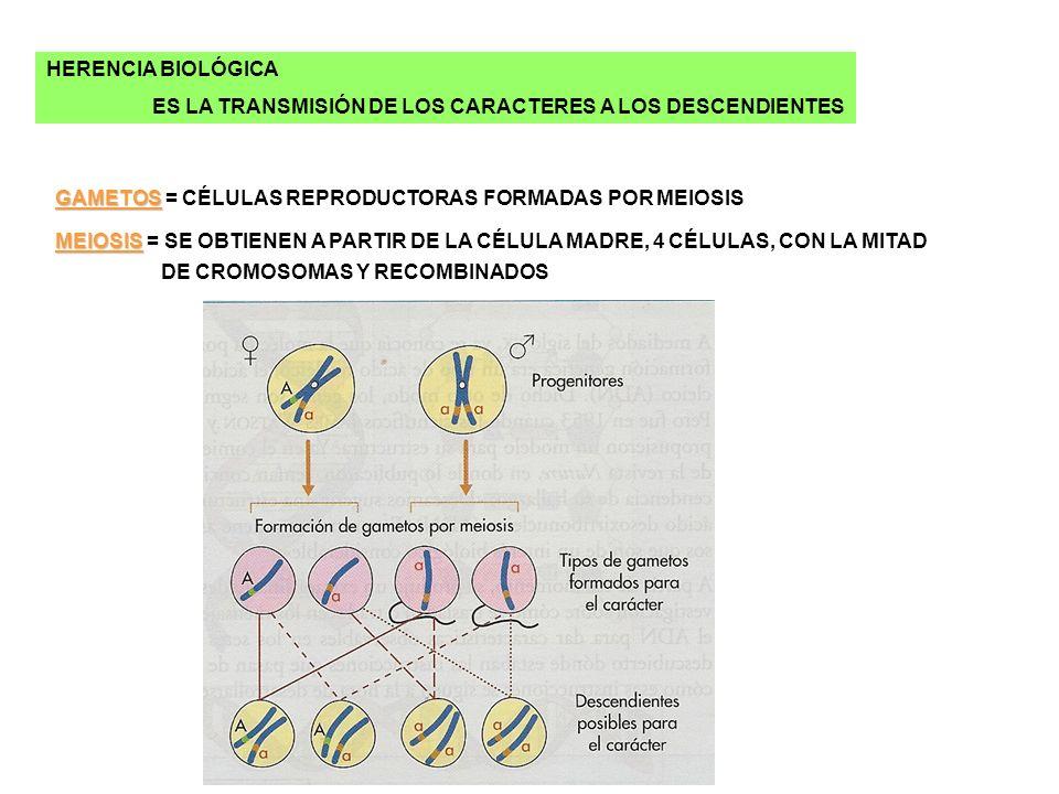 HERENCIA BIOLÓGICA ES LA TRANSMISIÓN DE LOS CARACTERES A LOS DESCENDIENTES GAMETOS GAMETOS = CÉLULAS REPRODUCTORAS FORMADAS POR MEIOSIS MEIOSIS MEIOSI