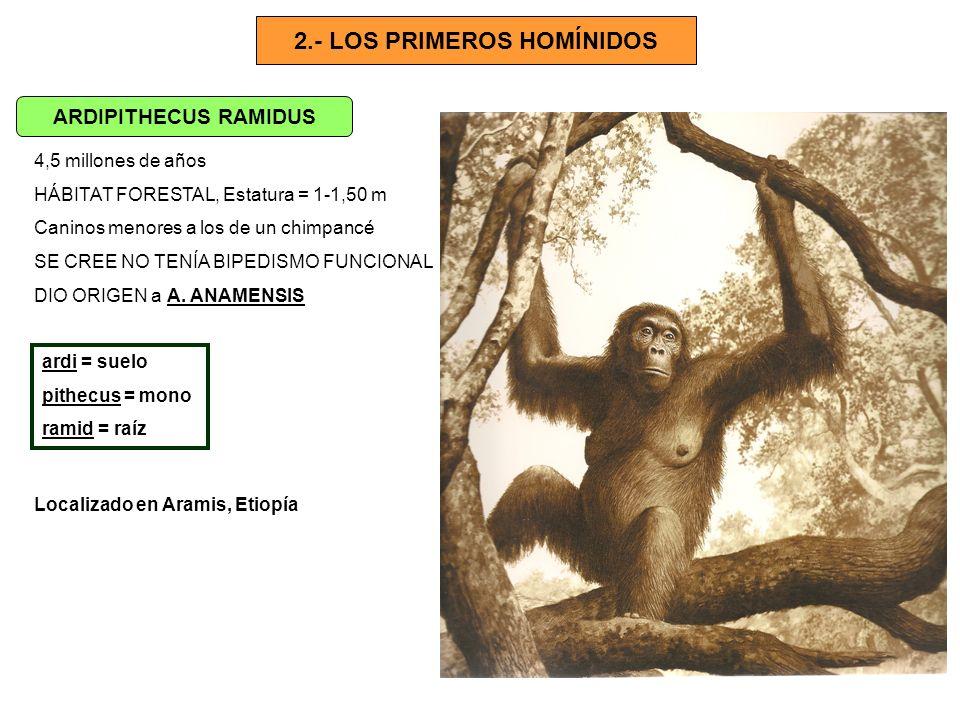 2.- LOS PRIMEROS HOMÍNIDOS ARDIPITHECUS RAMIDUS 4,5 millones de años HÁBITAT FORESTAL, Estatura = 1-1,50 m Caninos menores a los de un chimpancé SE CR