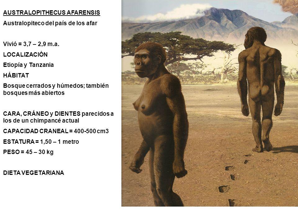 AUSTRALOPITHECUS AFARENSIS Australopiteco del país de los afar Vivió = 3,7 – 2,9 m.a. LOCALIZACIÓN Etiopía y Tanzania HÁBITAT Bosque cerrados y húmedo