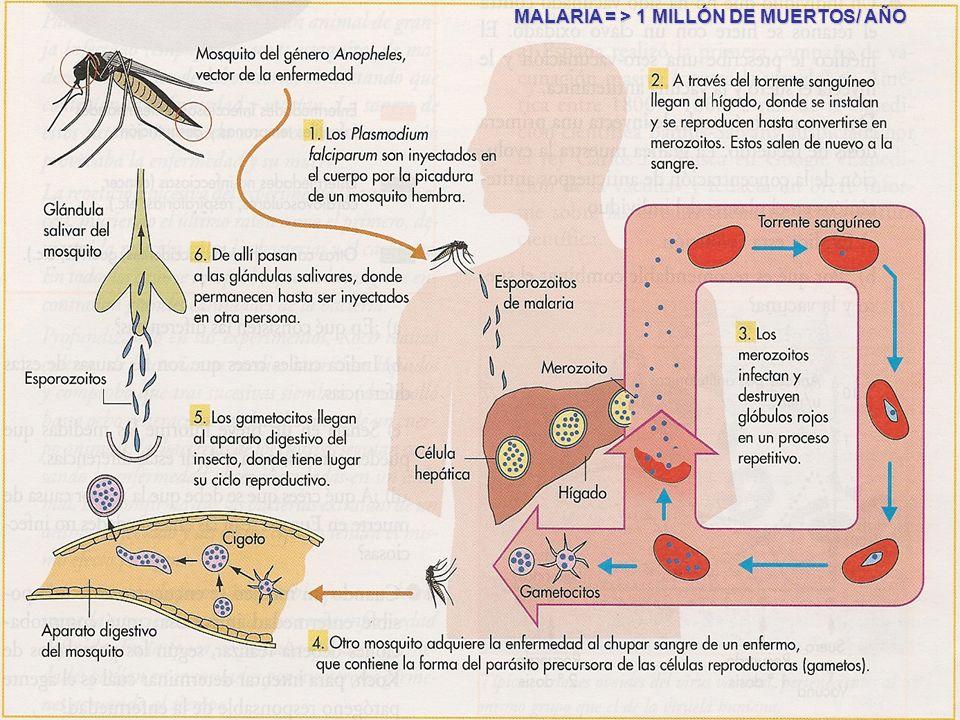 MALARIA = > 1 MILLÓN DE MUERTOS/ AÑO