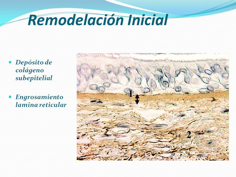 Remodelación Inicial Depósito de colágeno subepitelial Engrosamiento lamina reticular