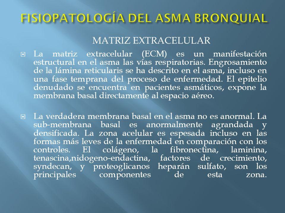 La matriz extracelular (ECM) es un manifestación estructural en el asma las vías respiratorias. Engrosamiento de la lámina reticularis se ha descrito