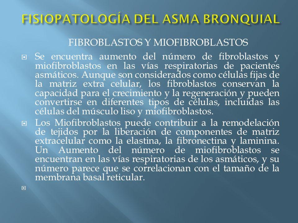 Se encuentra aumento del número de fibroblastos y miofibroblastos en las vías respiratorias de pacientes asmáticos. Aunque son considerados como célul