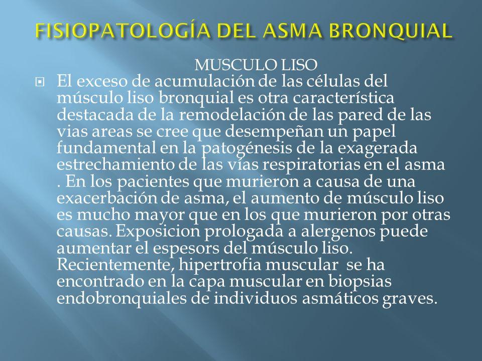 El exceso de acumulación de las células del músculo liso bronquial es otra característica destacada de la remodelación de las pared de las vias areas