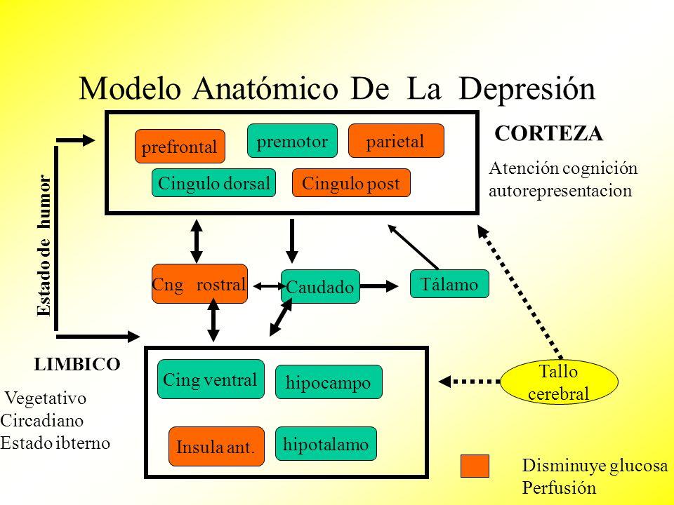 Modelo Anatómico De La Depresión prefrontal premotorparietal Cingulo postCingulo dorsal Cing ventral Cng rostral Tálamo hipocampo Insula ant. hipotala