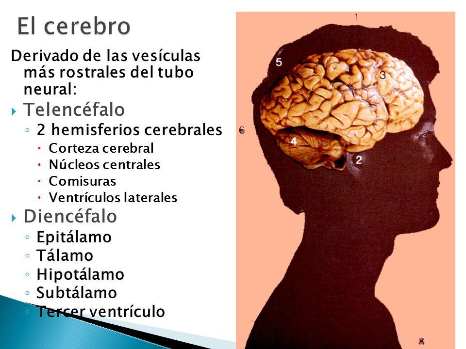 Derivado de las vesículas más rostrales del tubo neural: Telencéfalo 2 hemisferios cerebrales Corteza cerebral Núcleos centrales Comisuras Ventrículos