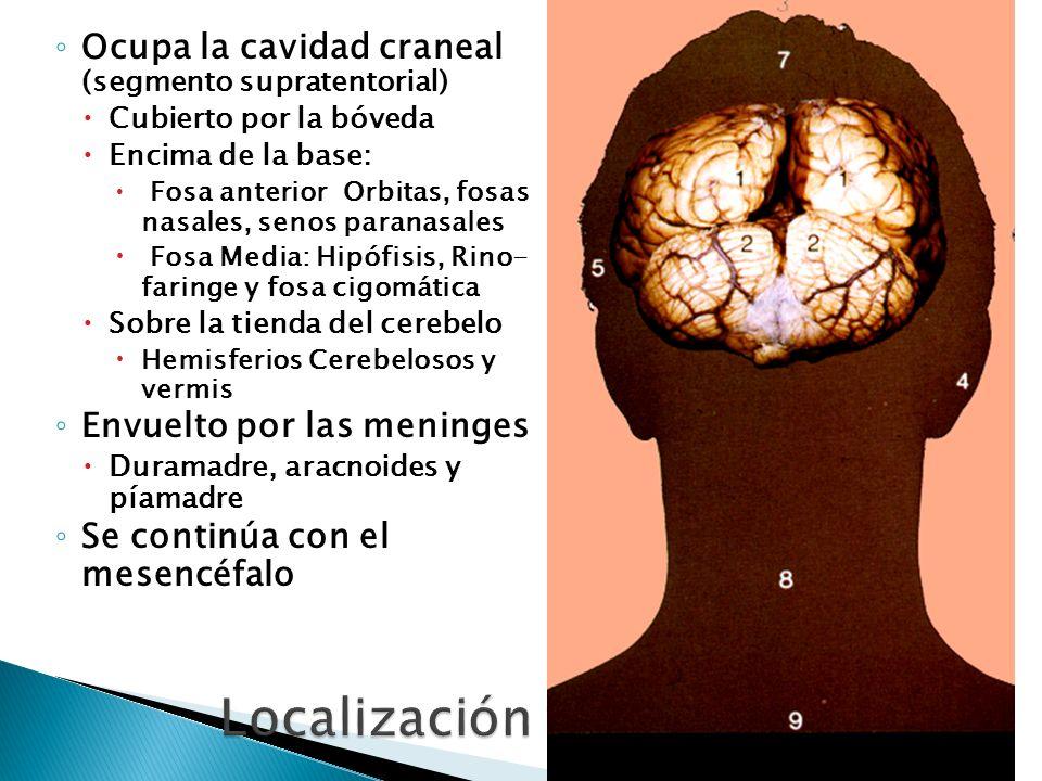 Ocupa la cavidad craneal (segmento supratentorial) Cubierto por la bóveda Encima de la base: Fosa anterior Orbitas, fosas nasales, senos paranasales F